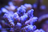 Beautiful Coral macro in salt water aquarium poster