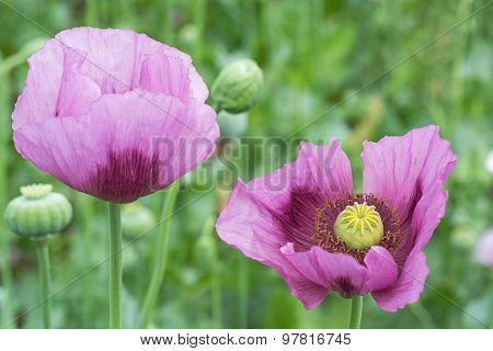 Opium Poppy Flower Closeup