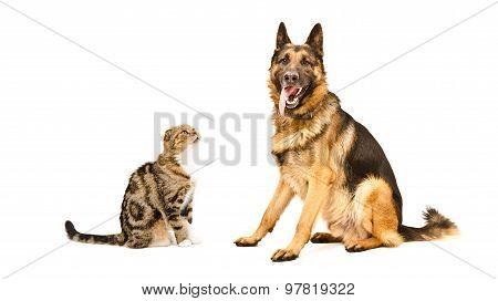 Dog breed German Shepherd and cat Scottish Fold