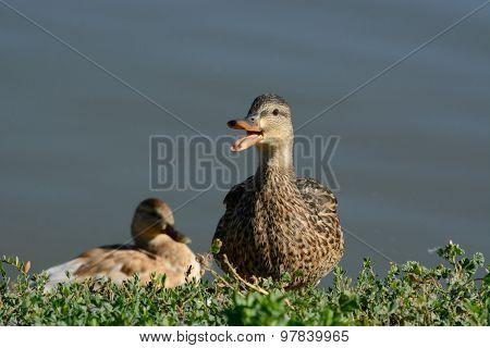 Mallard Duck Hen quacking