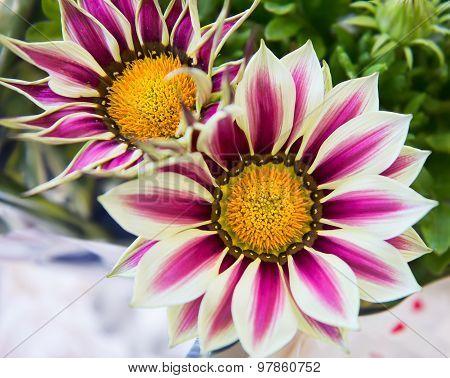 White And Purple Gazania Flowers