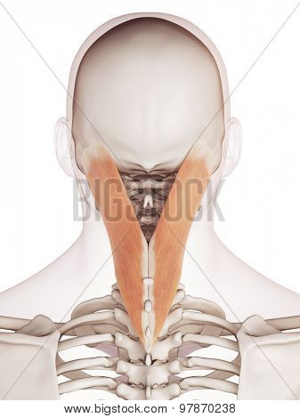 medically accurate muscle illustration of the splenius capitis