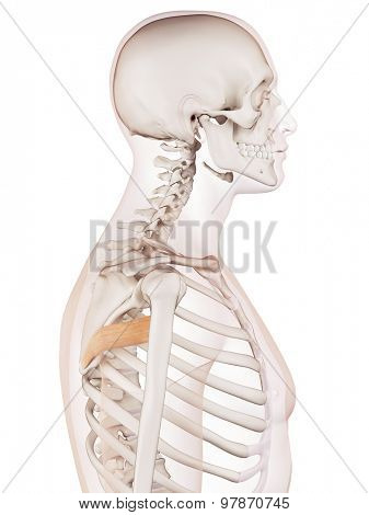medically accurate muscle illustration of the teres major