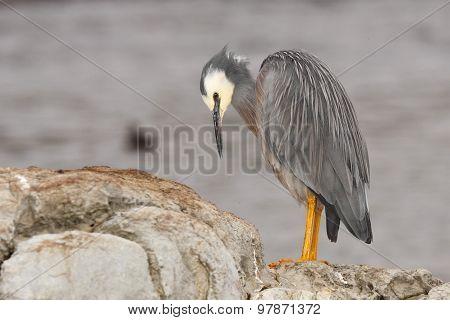 Heron Looking Down