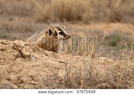 Badger Outside Den
