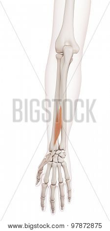 medically accurate muscle illustration of the extensor pollicis longus