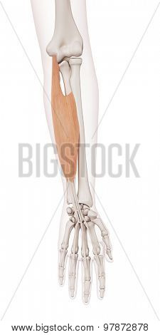 medically accurate muscle illustration of the flexor digitorum superficialis