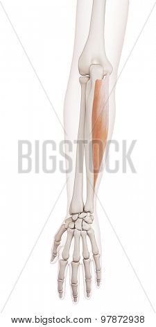 medically accurate muscle illustration of the flexor carpi ulnaris