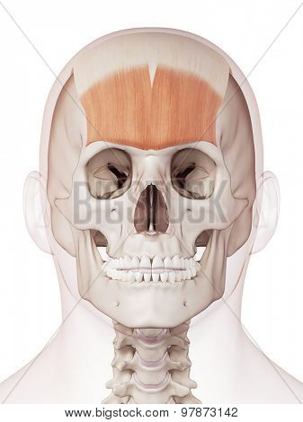 medically accurate muscle illustration of the frontalis