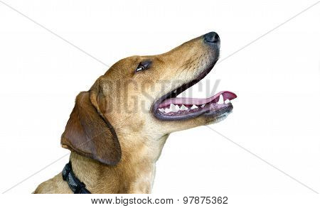 Happy Dog Isolated On White