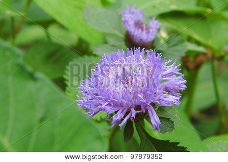 Ageratum flower