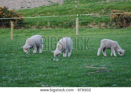 3 Lambs