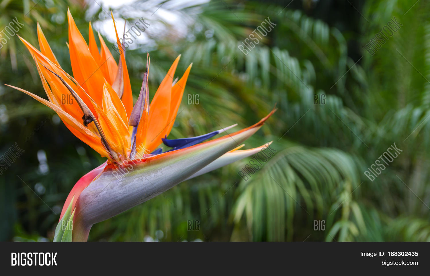 Exotic Tropical Flower Image Photo Free Trial Bigstock