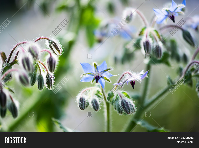 Tiny Blue Flowers Buds Image Photo Free Trial Bigstock
