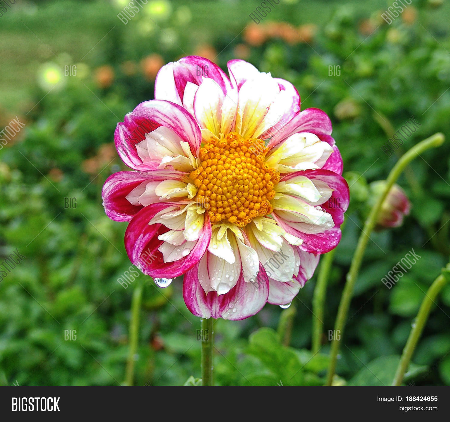 Closeup dahlia garden image photo free trial bigstock closeup of dahlia in the garden the flower is in full bloom with petals in izmirmasajfo