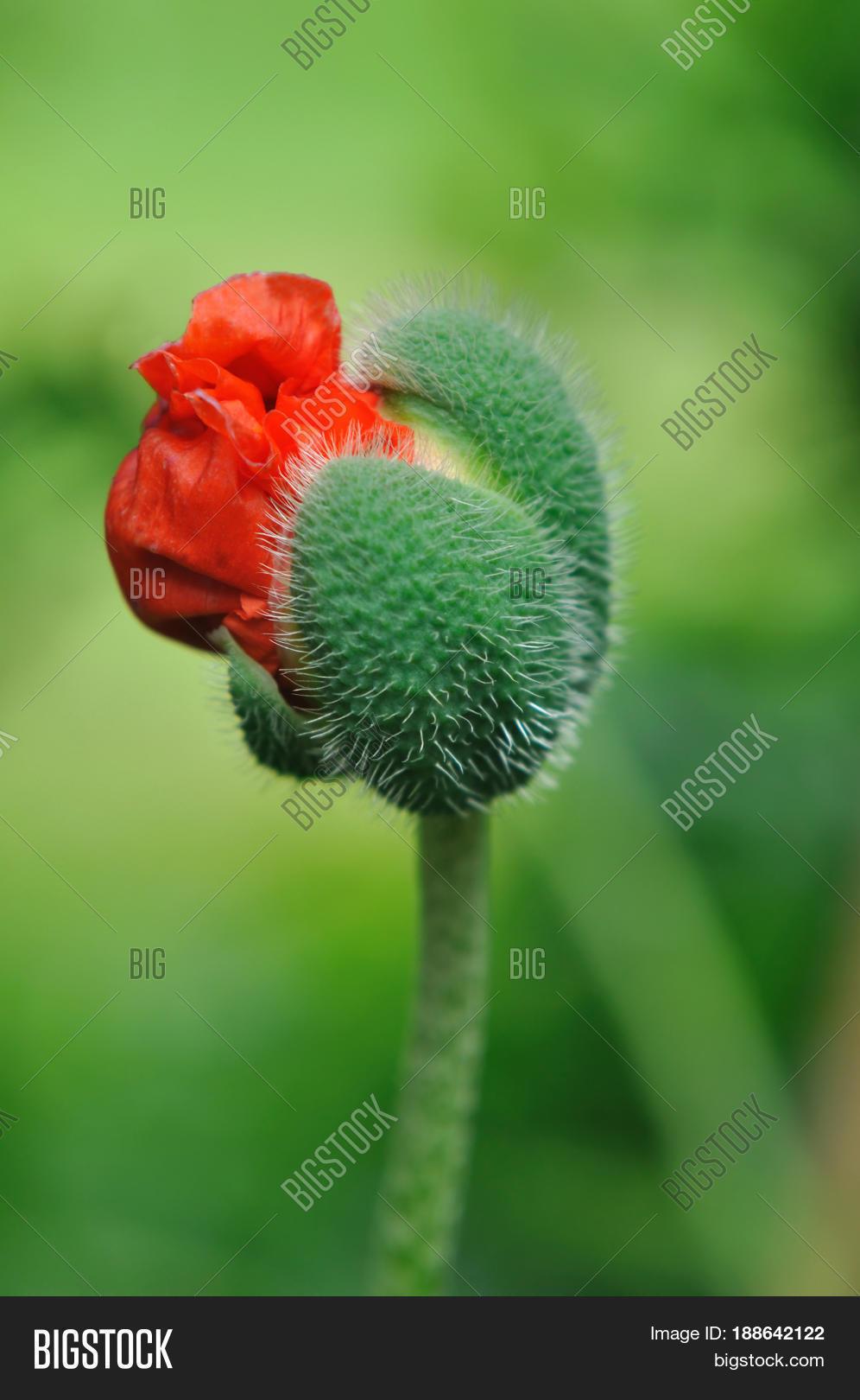 Flowering Poppy Flower Image Photo Free Trial Bigstock