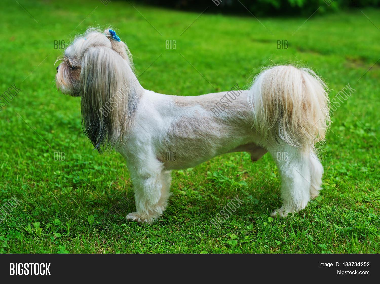 Shih Tzu Dog Short Image Photo Free Trial Bigstock