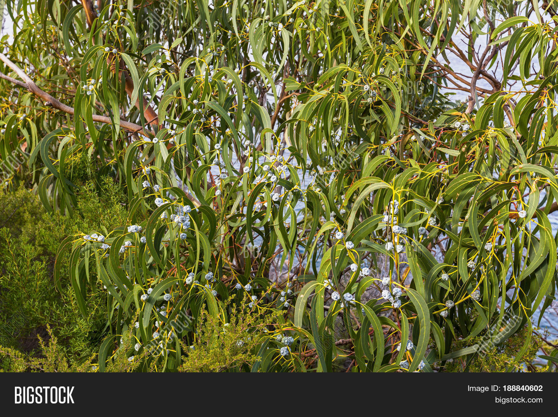 Long Green Leaves Gum Image Photo Free Trial Bigstock
