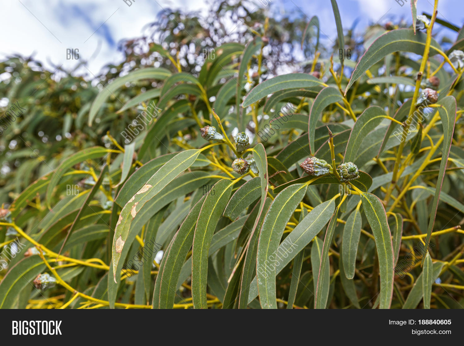 Long green leaves gum image photo free trial bigstock long green leaves and gum seeds flower bud of tasmanian blue gum evergreen tree with izmirmasajfo