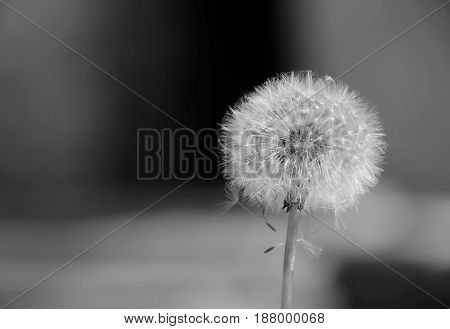 Dandelion plant in b&w isolated in blurred background