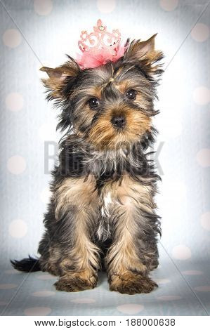 Yorkshire terrier puppy sitting on a blue background in a white polka dot in a pink crown