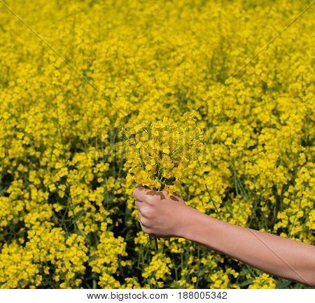 Hand with rape in a rape field