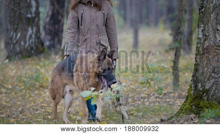Image large dog that walks in the autumn woods with his owner
