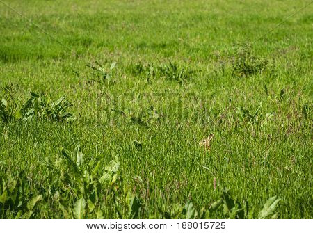 Brown hare hidden between the wild grasses and plants in a nature area om a sunny day in springtime.