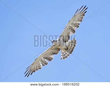 Short-toed snake eagle (Circaetus gallicus) in flight with blue skies in the background