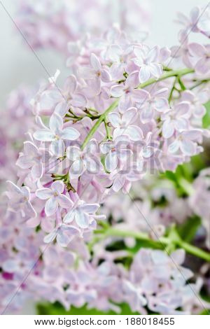 Lilac Spring Romance Beauty Flower