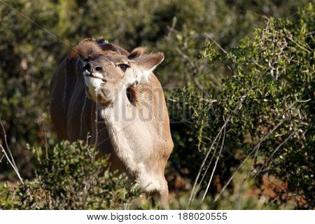 Female Kudu Standing And Smelling The Air