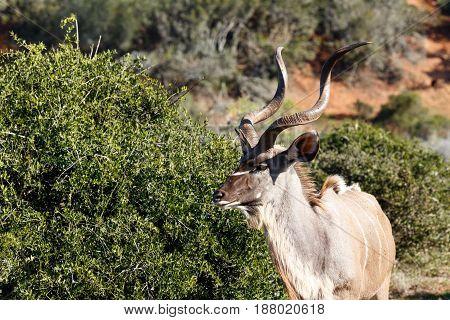 Male Kudu Walking Towards The Bushes