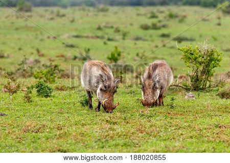 Warthogs Standing And Eating Grass