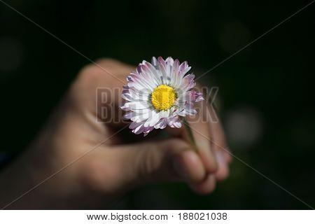 Child's hands cradling a fresh daisy flower.