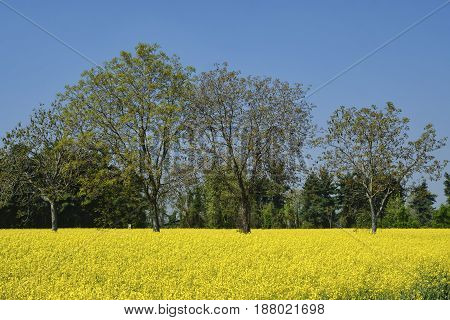 Rural landscape at spring near Groppello (Milan Lombardy Italy): field of yellow flowers