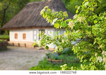 Blooming guelder rose (arrowwood viburnum opulus) branch against the old traditional Ukrainian house built in wattle and daub technique with thatched roof in the background.