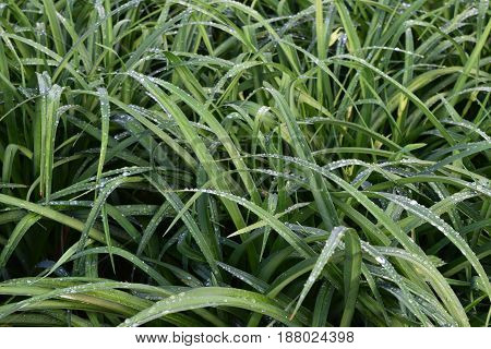 Many green daylily leaves with water droplets
