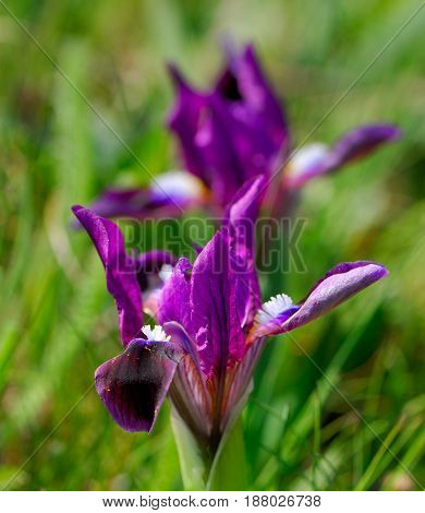 Flowers irises on a blurred background in a spring sunny day