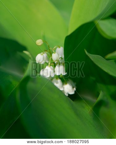 Flowers of lilies of the valley on a blurred background in a spring sunny day