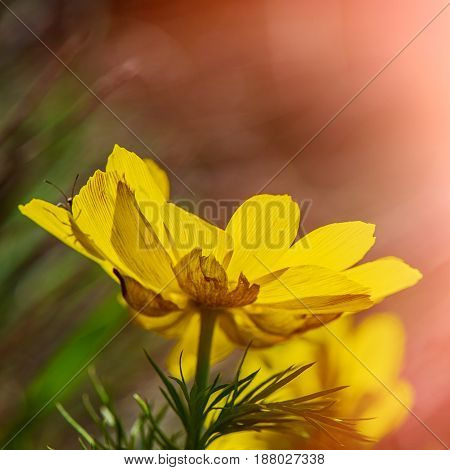 Flower adonis spring on a blurred background on a sunny day