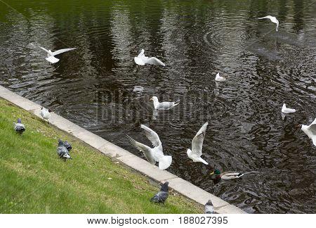 gulls ducks pigeons birds on pond water