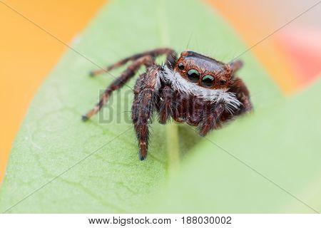 Super macro Carrhotus viduus or Jumping spider on green leaf