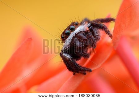 Super macro  or Carrhotus viduus or Jumping spider on flower