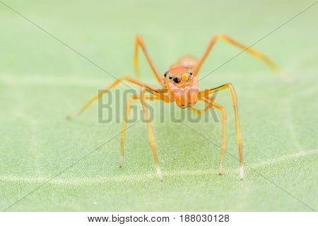 Super macro female jumping spider or Myrmaplata plataleoides on green leaf