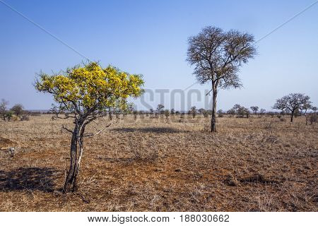 Drought landscape with wild shrub flower in Kruger national park, South Africa