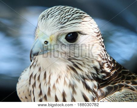 close up of a kestrel looking at camera with blue background