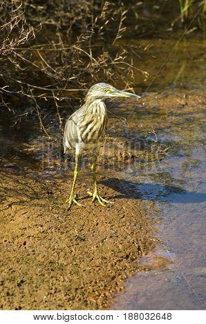 Indian Pond Heron (Ardeola grayii). Goa India
