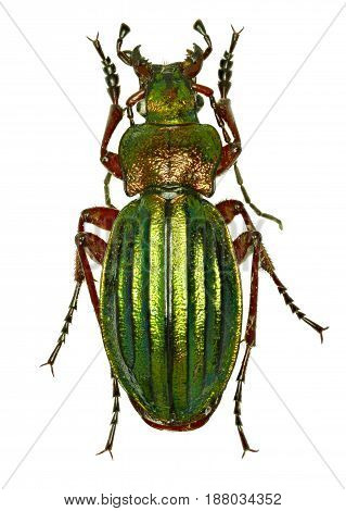 Golden Ground Beetle on white Background - Carabus auronitens (Fabricius 1792)