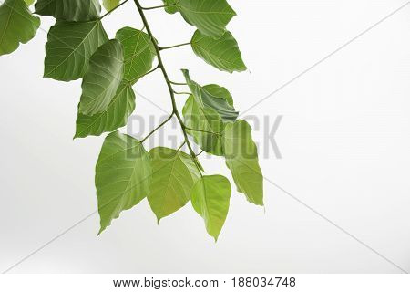 The green leave isolated on white background