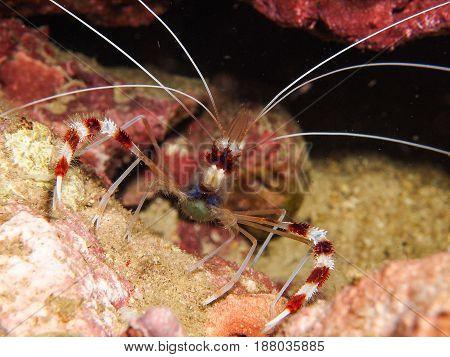 Stenopus Hispidus, Boxer Shrimp